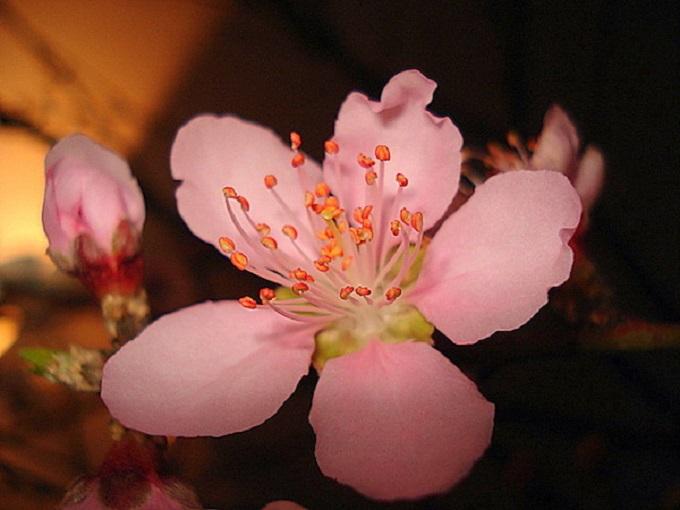 Hoa đào 5 cánh là biểu tượng hoàn hảo của ngũ hành trong phong thủy